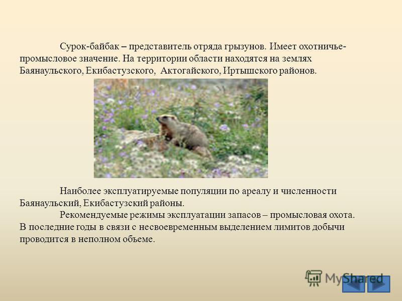 Сурок-байбак – представитель отряда грызунов. Имеет охотничье- промысловое значение. На территории области находятся на землях Баянаульского, Екибастузского, Актогайского, Иртышского районов. Наиболее эксплуатируемые популяции по ареалу и численности