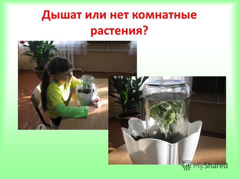 Дышат или нет комнатные растения?