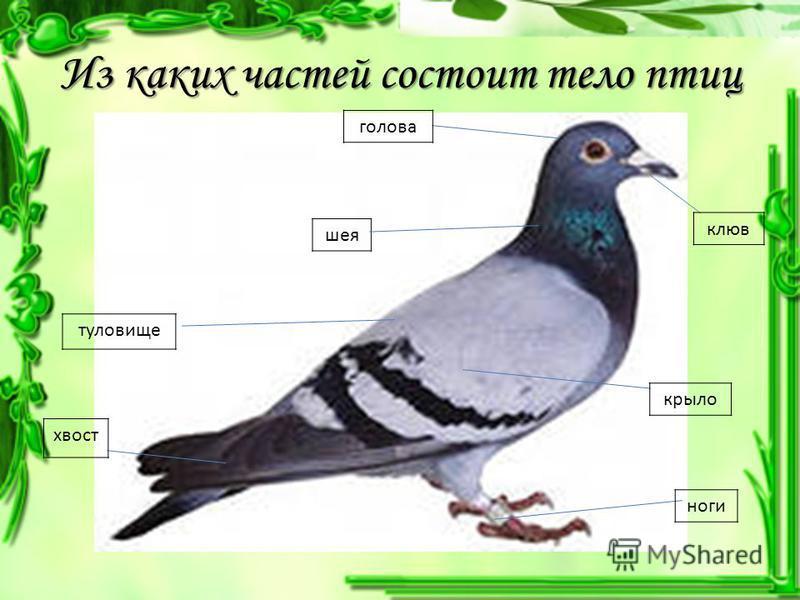 Из каких частей состоит тело птиц шея голова клюв туловище крыло ноги хвост