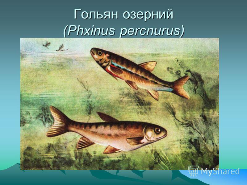 Форель струмкова (Salmo trutta fario L.)