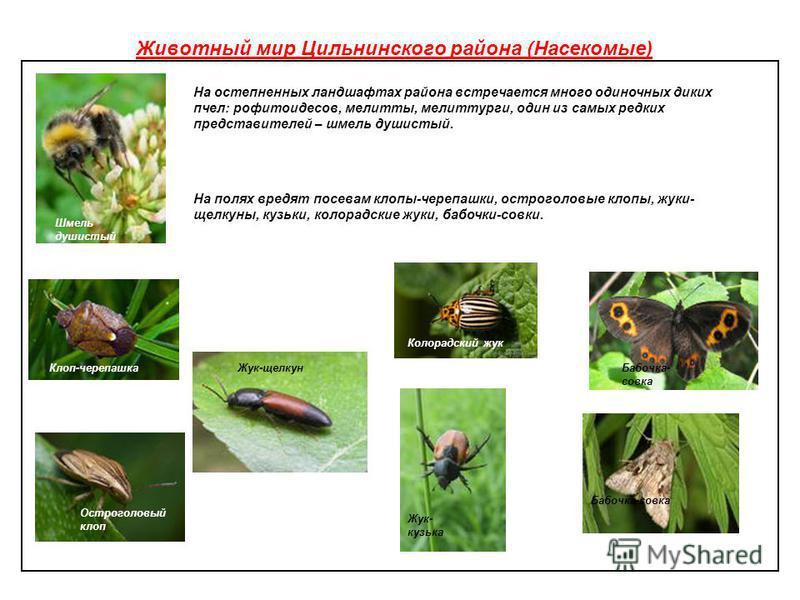 Животный мир Цильнинского района (Насекомые) На остепненных ландшафтах района встречается много одиночных диких пчел: рофитоидесов, миелиты, мелиттурги, один из самых редких представителей – шмель душистый. На полях вредят посевам клопы-черепашки, ос