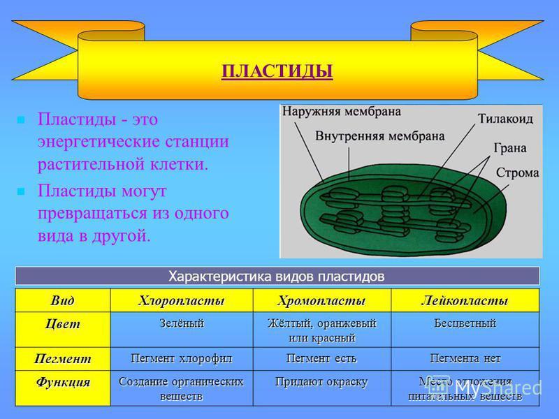 Пластиды - это энергетические станции растительной клетки. Пластиды могут превращаться из одного вида в другой. ПЛАСТИДЫВид ХлоропластыХромопласты ЛейкопластыЦвет Зелёный Жёлтый, оранжевый или красный Бесцветный Пегмент Пегмент хлорофил Пегмент есть