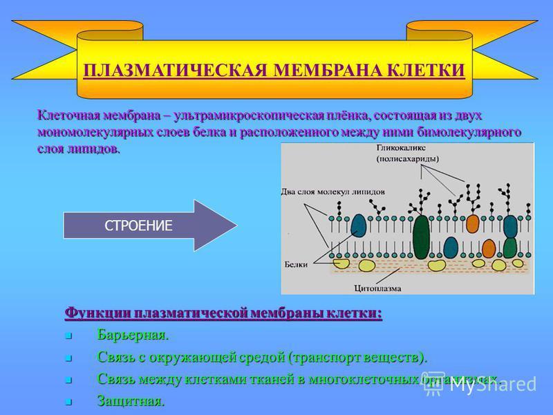 Клеточная мембрана – ультрамикроскопическая плёнка, состоящая из двух мономолекулярных слоев белка и расположенного между ними бимолекулярного слоя липидов. Клеточная мембрана – ультрамикроскопическая плёнка, состоящая из двух мономолекулярных слоев