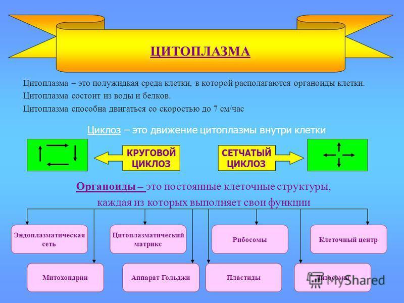 Цитоплазма – это полужидкая среда клетки, в которой располагаются органоиды клетки. Цитоплазма состоит из воды и белков. Цитоплазма способна двигаться со скоростью до 7 см/час ЦИТОПЛАЗМА Органоиды – это постоянные клеточные структуры, каждая из котор