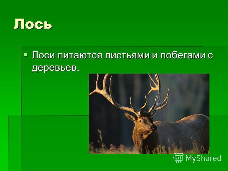 Лось Лоси питаются листьями и побегами с деревьев. Лоси питаются листьями и побегами с деревьев.