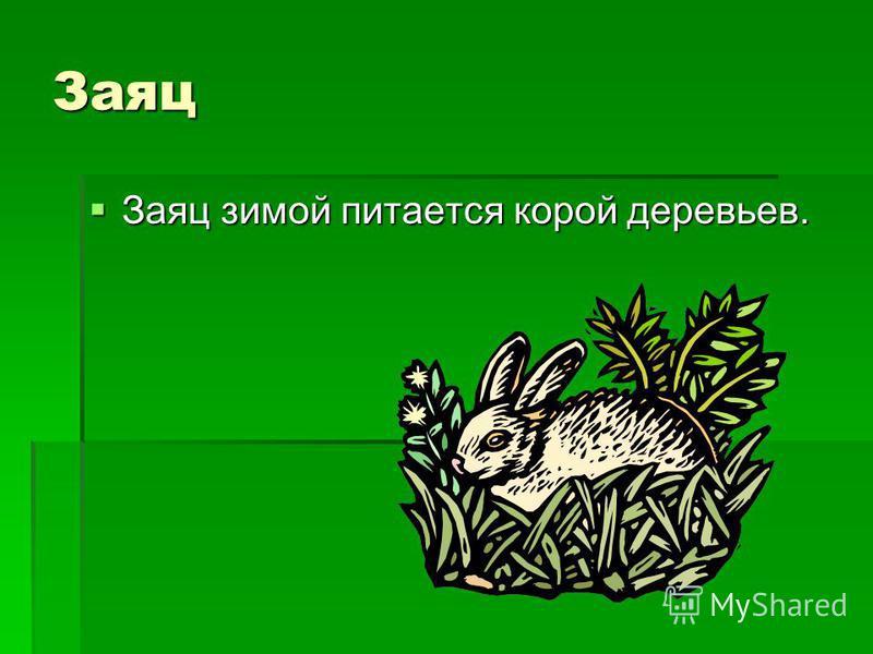 Заяц Заяц зимой питается корой деревьев. Заяц зимой питается корой деревьев.