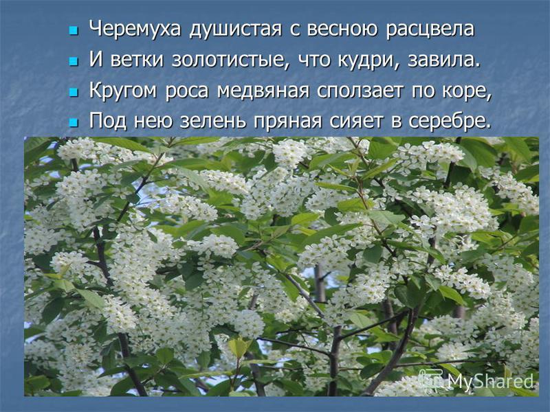 Черемуха душистая с весною расцвела Черемуха душистая с весною расцвела И ветки золотистые, что кудри, завила. И ветки золотистые, что кудри, завила. Кругом роса медвяная сползает по коре, Кругом роса медвяная сползает по коре, Под нею зелень пряная