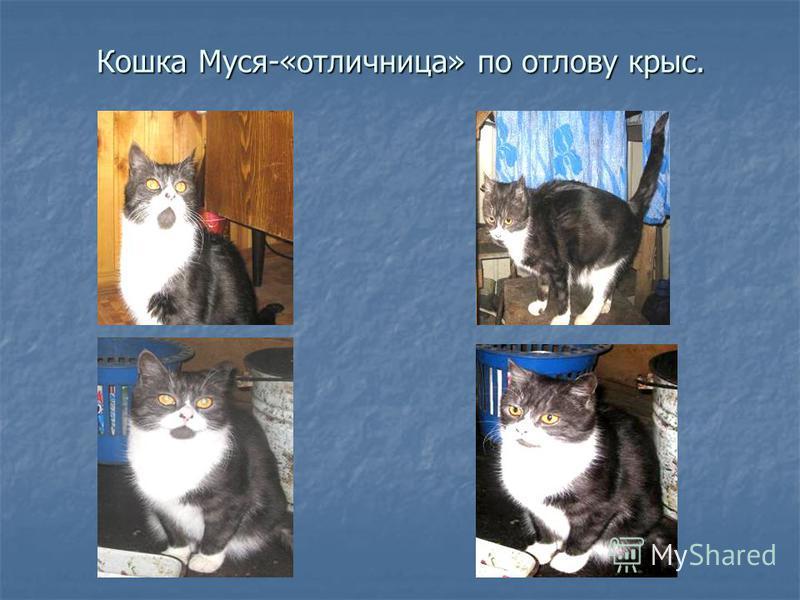 Кошка Муся-«отличница» по отлову крыс.