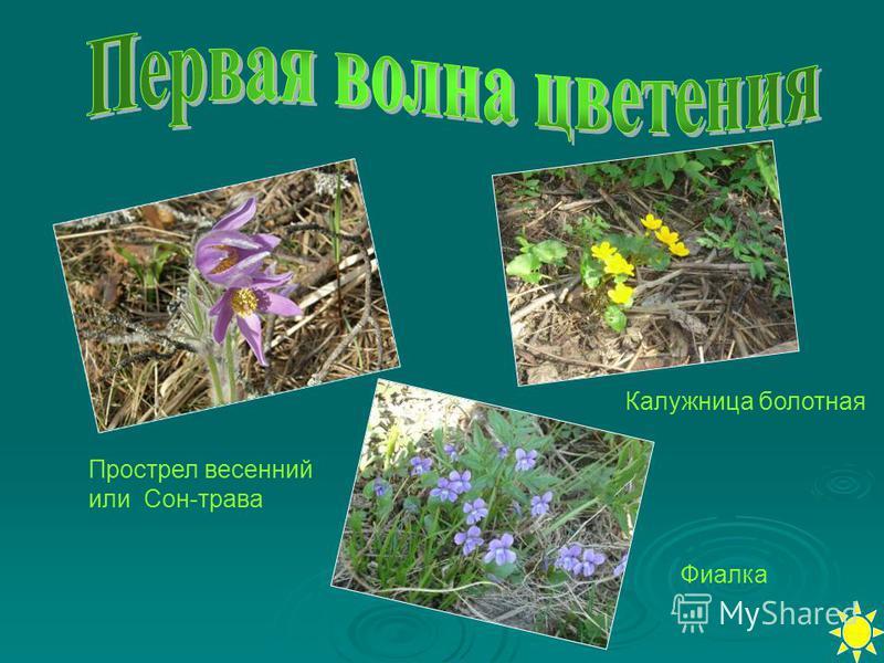 Фиалка Калужница болотная Прострел весенний или Сон-трава