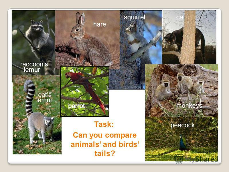 Task: Can you compare animals and birds tails? hare squirrel peacock lemur cats raccoons lemur monkeys cat