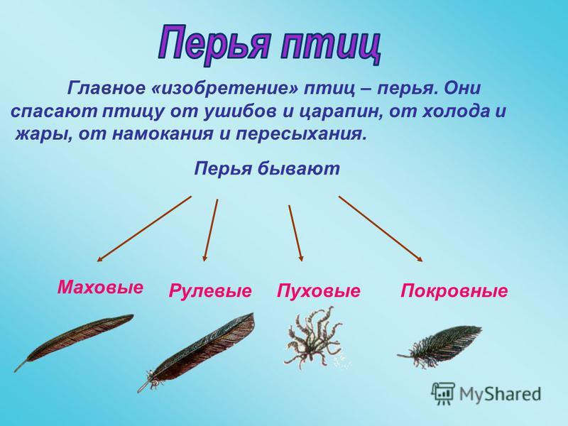 Главное «изобретение» птиц – перья. Они спасают птицу от ушибов и царапин, от холода и жары, от намокания и пересыхания. Перья бывают Маховые Рулевые ПуховыеПокровные