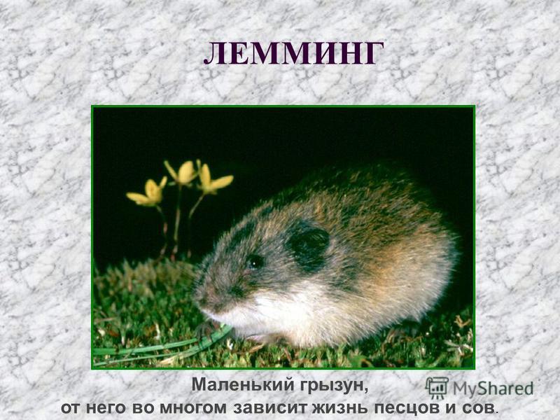 Маленький грызун, от него во многом зависит жизнь песцов и сов. ЛЕММИНГ