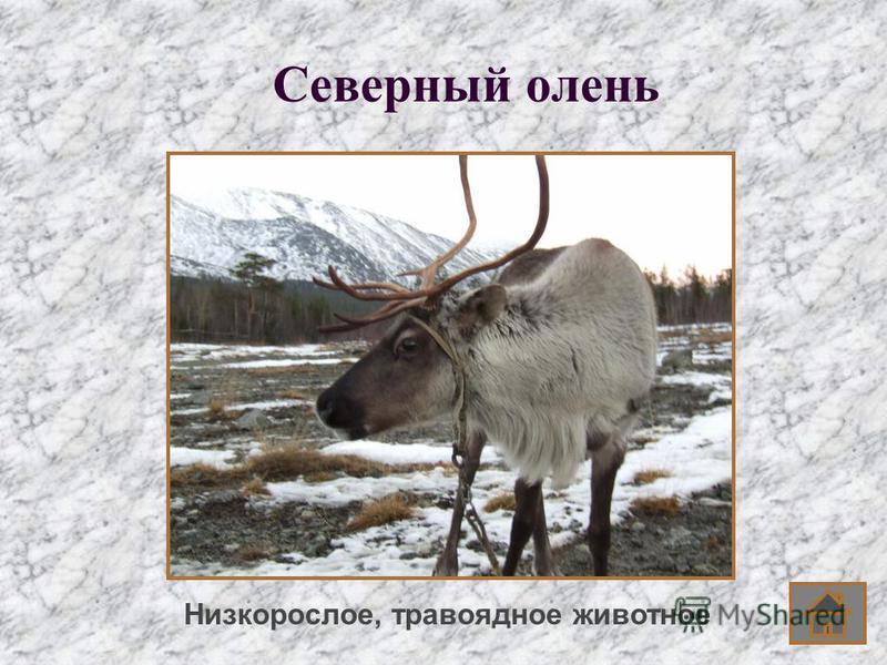 Северный олень Низкорослое, травоядное животное