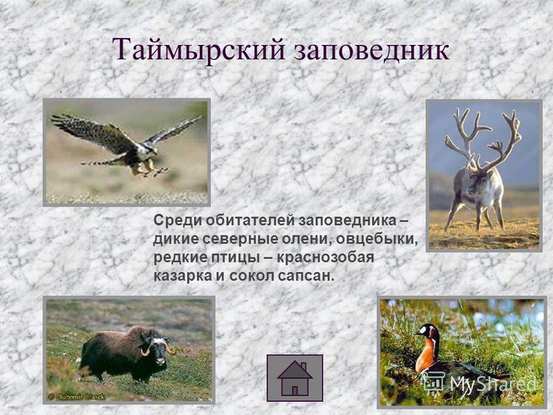 Таймырский заповедник Среди обитателей заповедника – дикие северные олени, овцебыки, редкие птицы – краснозобая казарка и сокол сапсан.