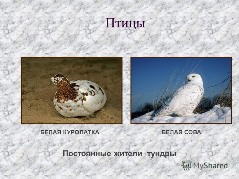 Постоянные жители тундры Птицы БЕЛАЯ КУРОПАТКАБЕЛАЯ СОВА
