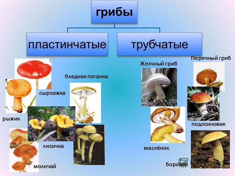 грибы пластинчатые трубчатые бледная поганка сыроежка рыжик молочай лисичка Желчный гриб маслёнок Перечный гриб подосиновик боровик