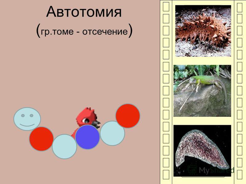 Автотомия ( гр.томе - отсечение )
