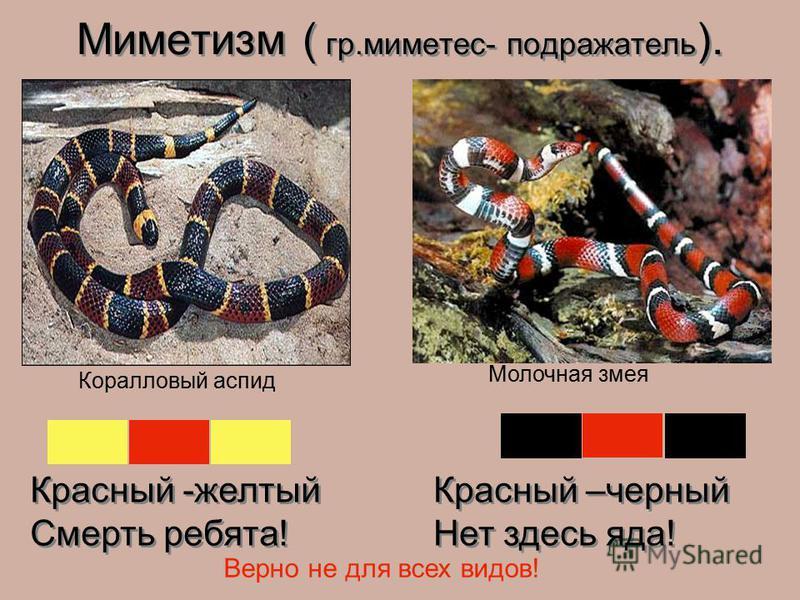 Красный -желтый Смерть ребята! Красный -желтый Смерть ребята! Красный –черный Нет здесь яда! Красный –черный Нет здесь яда! Верно не для всех видов! Коралловый аспид Молочная змея Миметизм ( гр.миметес- подражатель ).