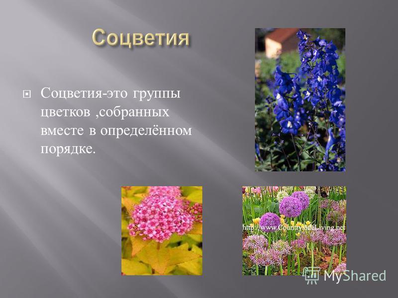 Соцветия - это группы цветков, собранных вместе в определённом порядке.