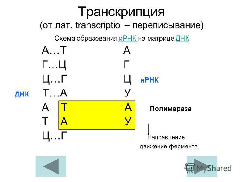 Схема образования иРНК на
