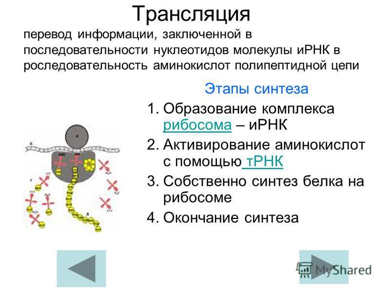 Трансляция перевод информации, заключенной в последовательности нуклеотидов молекулы иРНК в последовательность аминокислот полипептидной цепи Этапы синтеза 1. Образование комплекса рибосома – иРНК рибосома 2. Активирование аминокислот с помощью тРНК