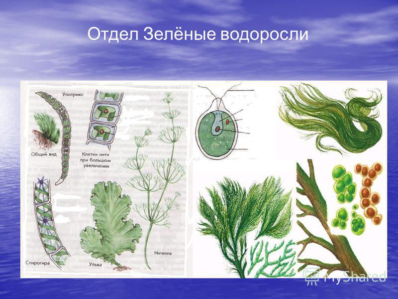 Отдел Зелёные водоросли