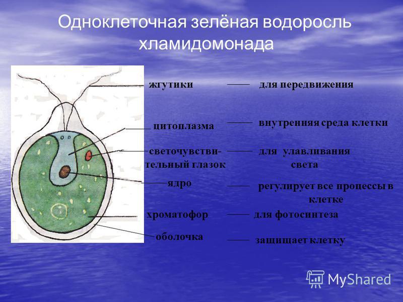жгутики цитоплазма ядро хроматофор оболочка светочувствительный глазок защищает клетку для передвижения внутренняя среда клетки для улавливания света регулирует все процессы в клетке для фотосинтеза Одноклеточная зелёная водоросль хламидомонада