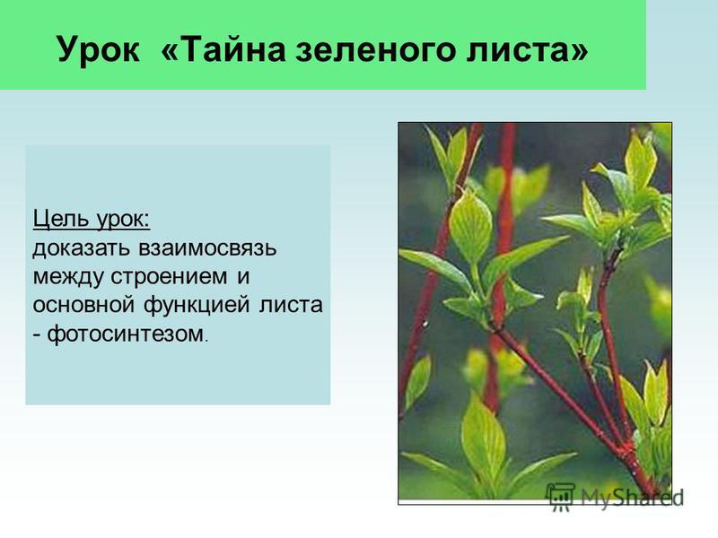 Урок «Тайна зеленого листа» Цель урок: доказать взаимосвязь между строением и основной функцией листа - фотосинтезом.