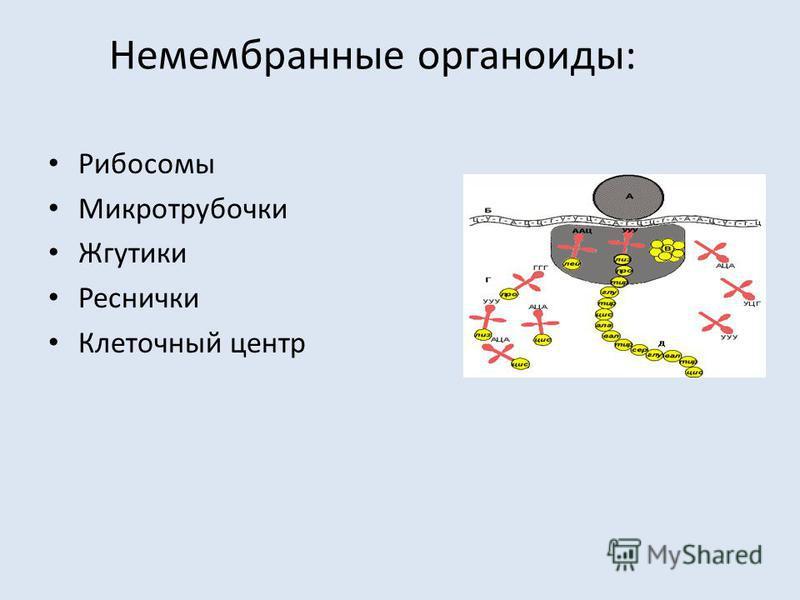 Немембранные органоиды: Рибосомы Микротрубочки Жгутики Реснички Клеточный центр