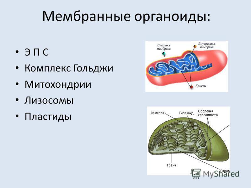 Мембранные органоиды: Э П С Комплекс Гольджи Митохондрии Лизосомы Пластиды