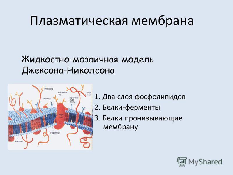 Плазматическая мембрана 1. Два слоя фосфолипидов 2. Белки-ферменты 3. Белки пронизывающие мембрану Жидкостно-мозаичная модель Джексона-Николсона