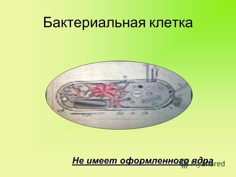Бактериальная клетка Не имеет оформленного ядра
