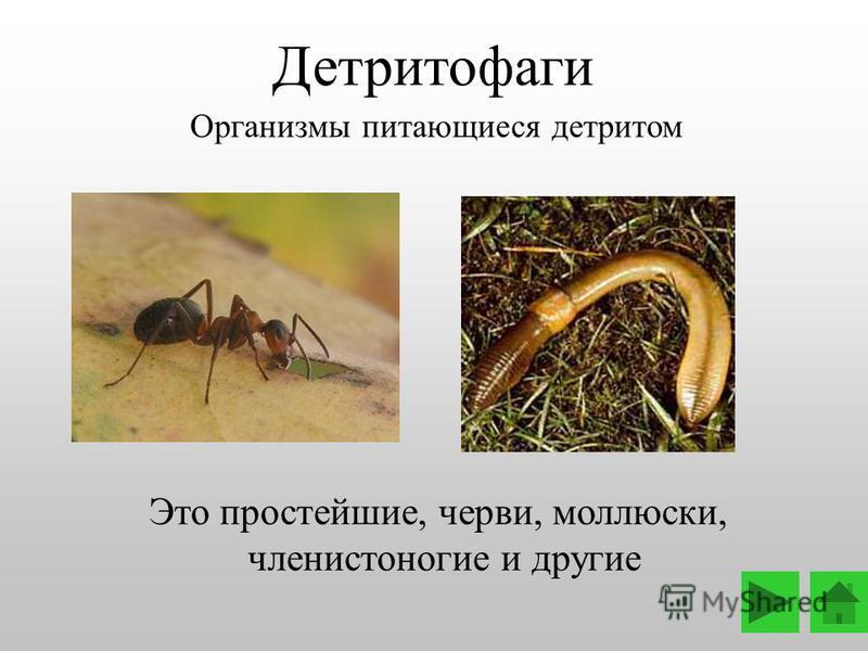 Это простейшие, черви, моллюски, членистоногие и другие Детритофаги Организмы питающиеся детритом