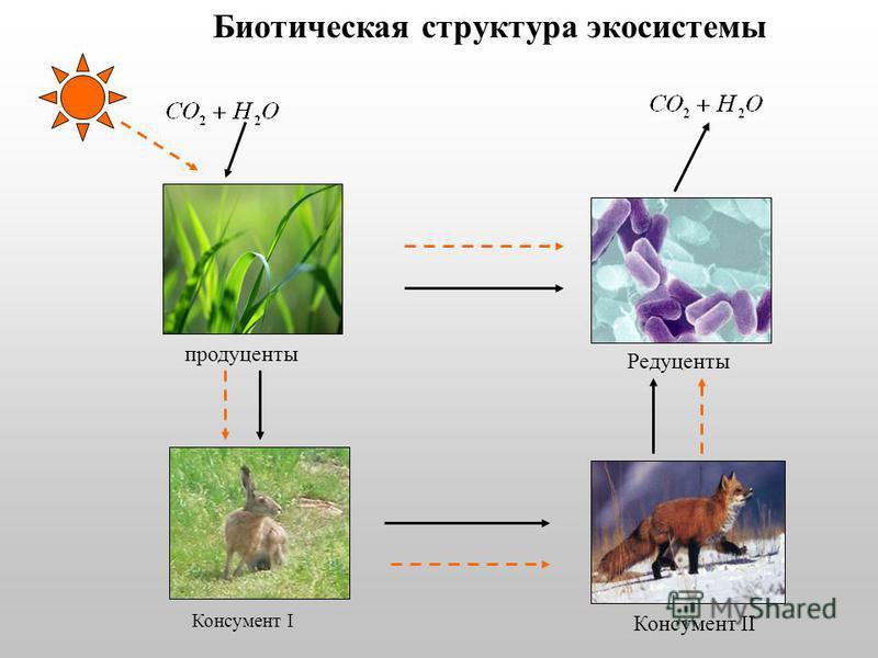 Биотическая структура экосистемы Консумент I продуценты Редуценты Консумент II
