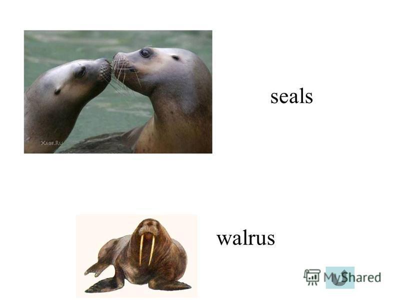 seals walrus