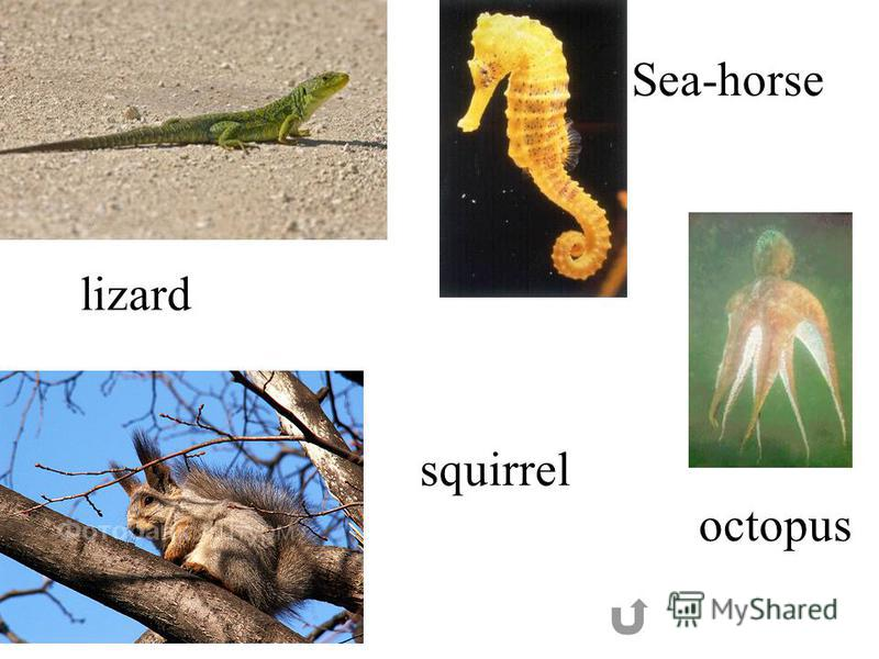lizard squirrel Sea-horse octopus