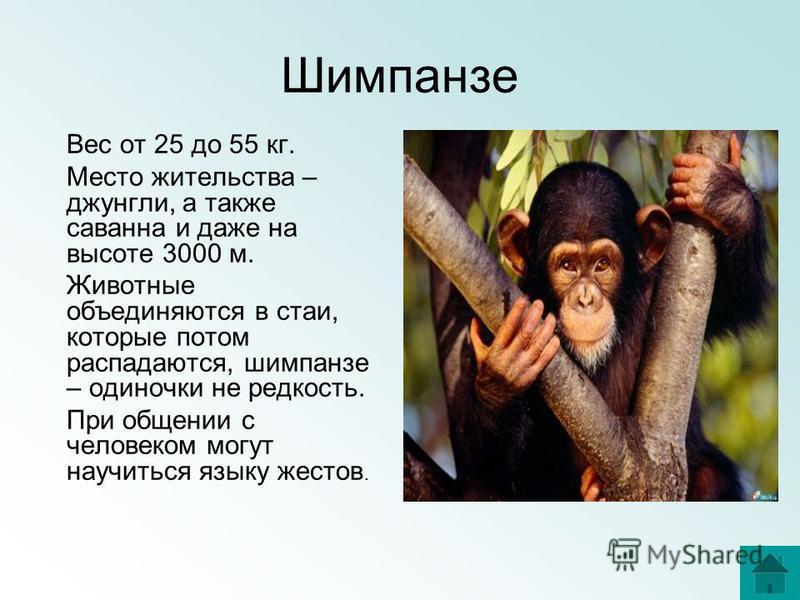 Шимпанзе Вес от 25 до 55 кг. Место жительства – джунгли, а также саванна и даже на высоте 3000 м. Животные объединяются в стаи, которые потом распадаются, шимпанзе – одиночки не редкость. При общении с человеком могут научиться языку жестов.