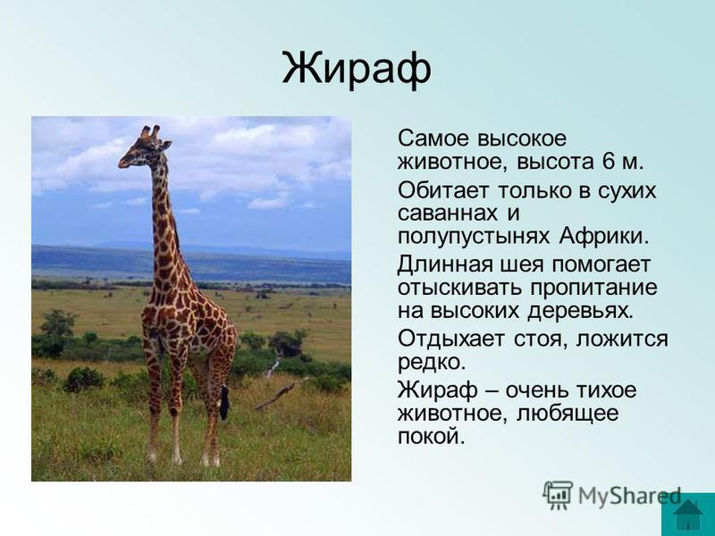 Жираф Самое высокое животное, высота 6 м. Обитает только в сухих саваннах и полупустынях Африки. Длинная шея помогает отыскивать пропитание на высоких деревьях. Отдыхает стоя, ложится редко. Жираф – очень тихое животное, любящее покой.