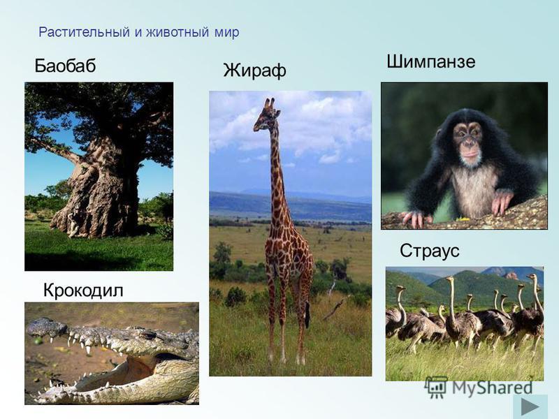 Растительный и животный мир Баобаб Шимпанзе Крокодил Страус Жираф
