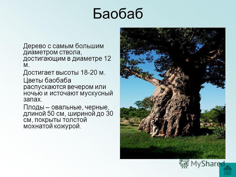Баобаб Дерево с самым большим диаметром ствола, достигающим в диаметре 12 м. Достигает высоты 18-20 м. Цветы баобаба распускаются вечером или ночью и источают мускусный запах. Плоды – овальные, черные, длиной 50 см, шириной до 30 см, покрыты толстой