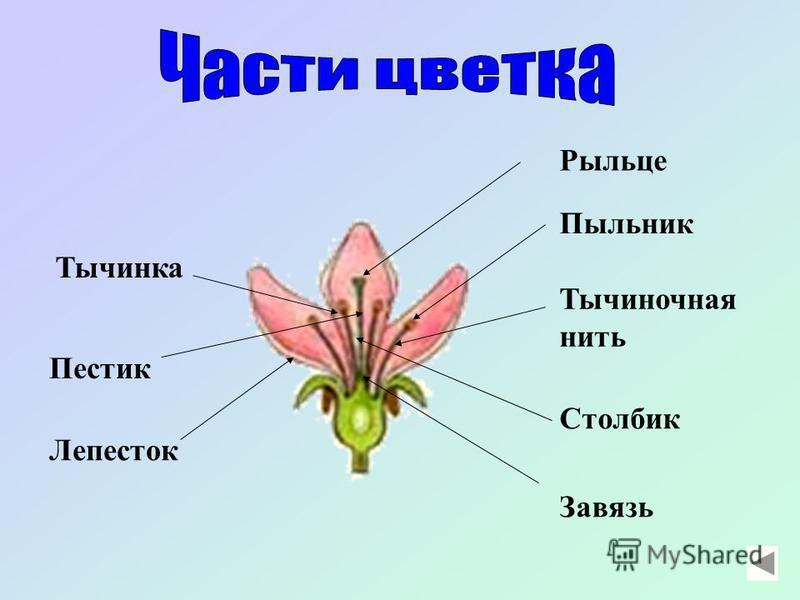 - это видоизмененный побег, на котором вызревает плод с семенами. Растение, на котором развивается побег с листьями и цветками, называется цветковым.