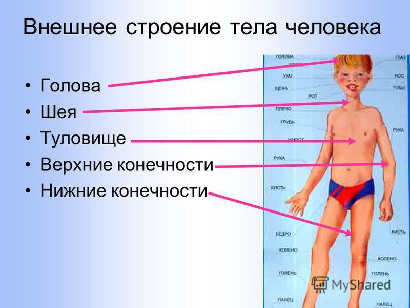 Внешнее строение тела человека Голова Шея Туловище Верхние конечности Нижние конечности