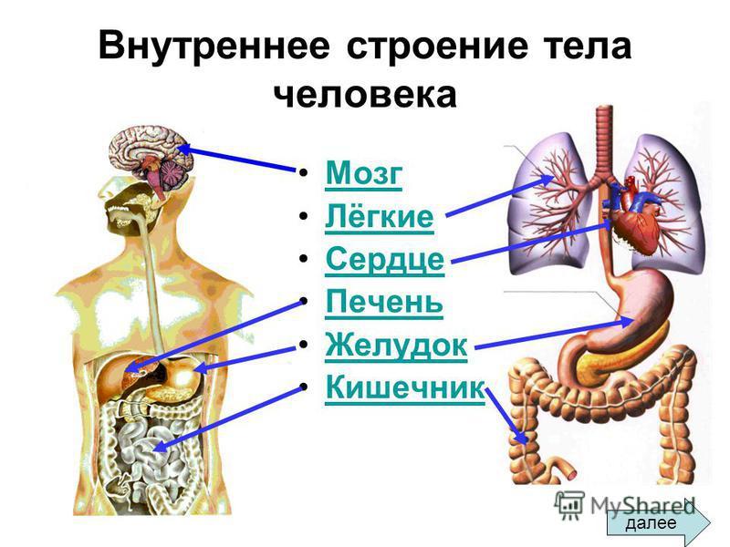 Внутреннее строение тела человека Мозг Лёгкие Сердце Печень Желудок Кишечник далее