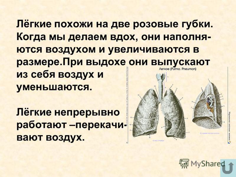 Лёгкие похожи на две розовые губки. Когда мы делаем вдох, они наполняются воздухом и увеличивалются в размере.При выдохе они выпускают из себя воздух и уменьшаются. Лёгкие непрерывно работают –передачи- валют воздух.
