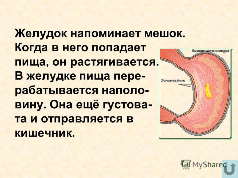 Желудок напоминает мешок. Когда в него попадает пища, он растягивается. В желудке пища перерабатывается наполовину. Она ещё густова- та и отправляется в кишечник.