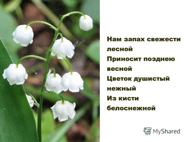 Нам запах свежести лесной Приносит позднею весной Цветок душистый нежный Из кисти белоснежной