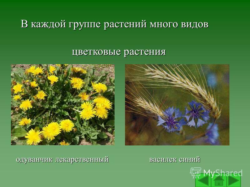 В каждой группе растений много видов цветковые растения одуванчик лекарственный василек синий