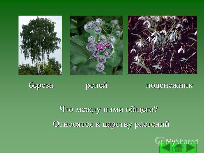 Что между ними общего? Относятся к царству растений березарепейподснежник