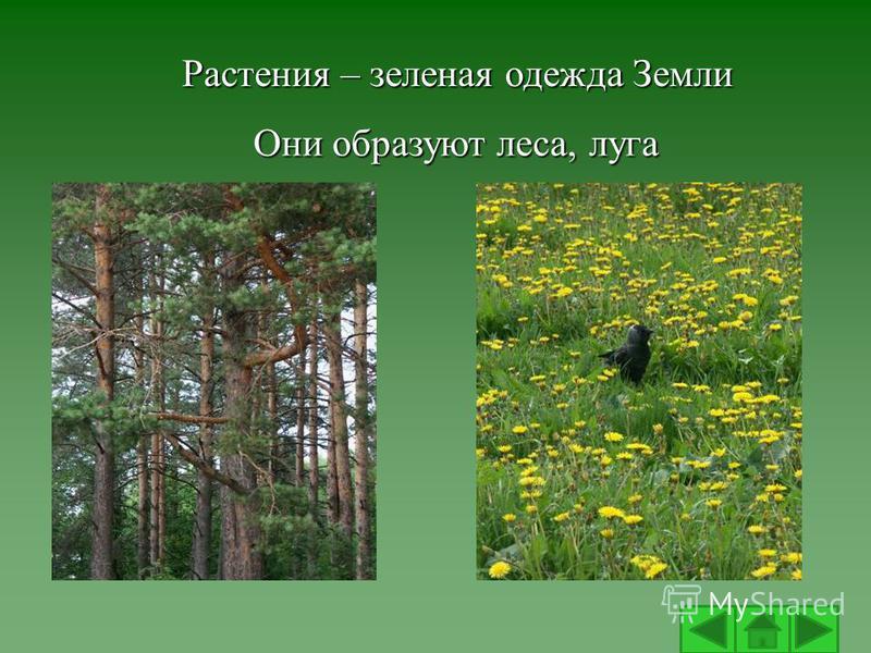 Растения – зеленая одежда Земли Они образуют леса, луга