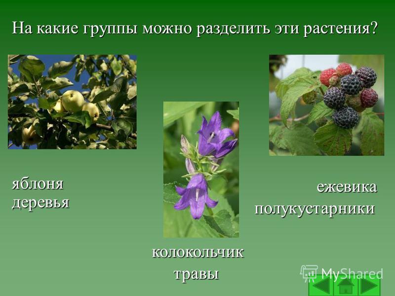 яблоня колокольчик ежевика На какие группы можно разделить эти растения? деревья травы полукустарники